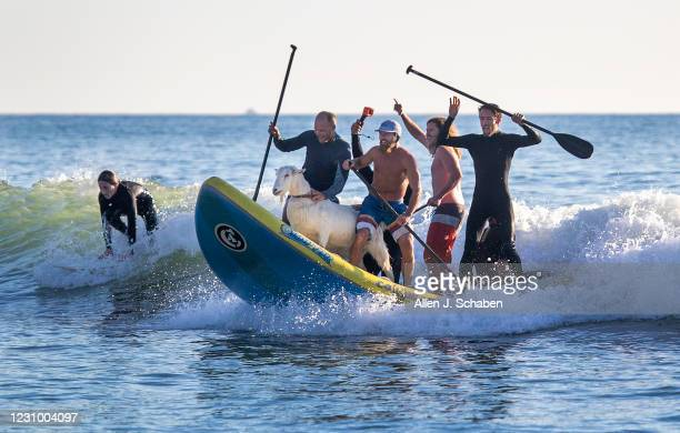 Anders Hamborg, left front, and Dana McGregor, right front, owner of The Surfing Goats of Pismo Beach, is joined by friends surfing with Pismo The...