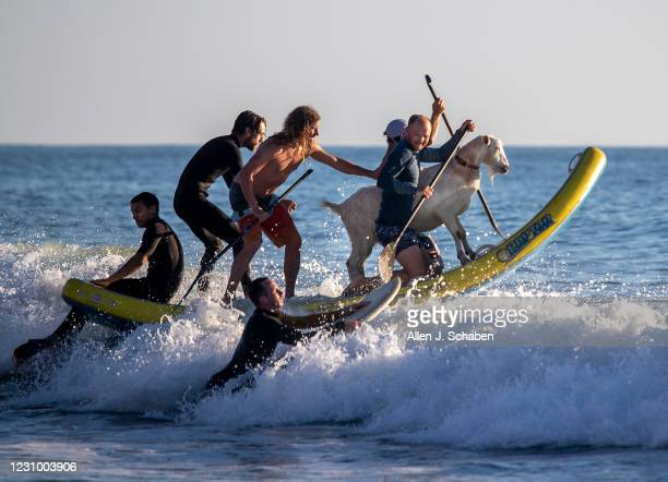 February 05: Anders Hamborg, right front, and Dana McGregor, left front, owner of The Surfing Goats of Pismo Beach, is joined by friends surfing with...