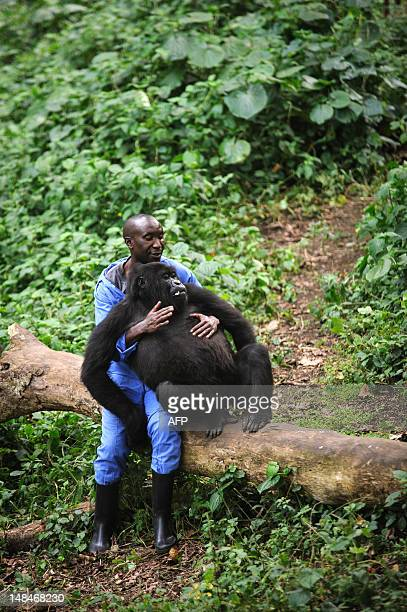 Andre Bahuma, a warden at the Virunga National Park, plays with an orphaned mountain gorilla in the gorilla sanctuary in the park headquarters at...