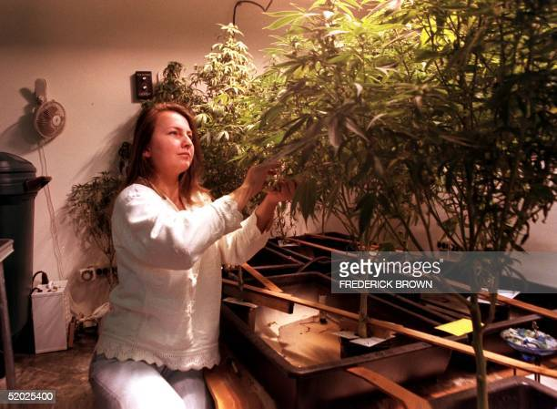 Andrea Nagy owner of the Ventua County Medical Cannabis Center in Thousand Oaks California tends to her marijuana garden 29 January Nagy living in a...