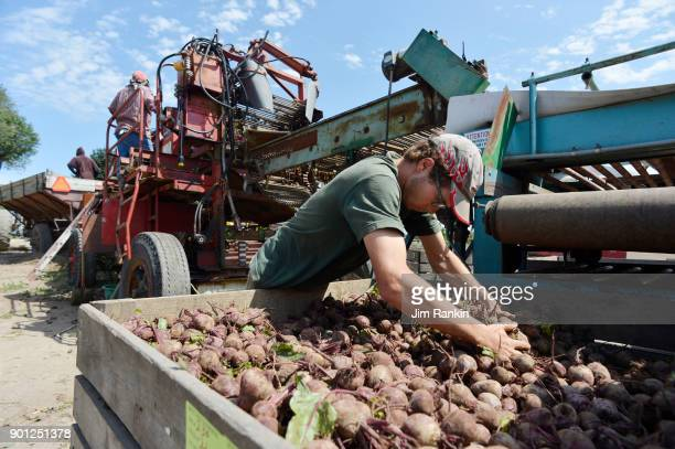 Andreas Pfenning levels a crate of beets sorted by machine and the hands of Jamaican workers Pfenning's Organic Farms in New Hamburg Ontario employs...