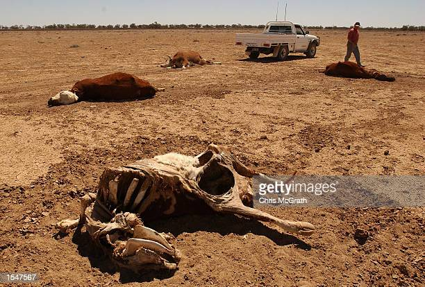 Andrew Gartner tows a dead a cow after it was put down at Teryanynia Station on October 21 2002 in Wilcannia New South Wales Australia Inland areas...