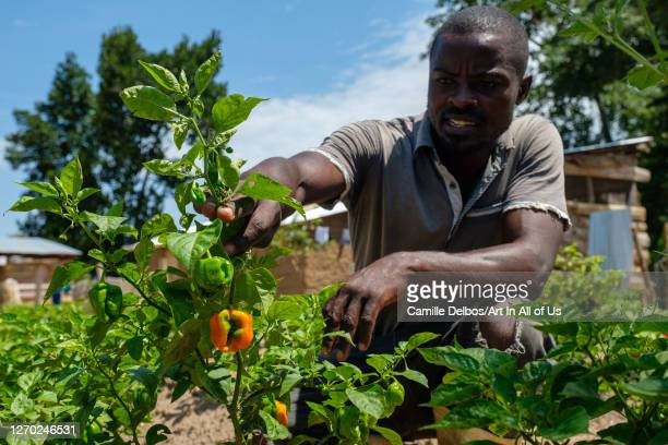 Andrew, hot pepper farmer, poses in a field on Septembre 25, 2018 in Bunjako island, Mpigi district, Uganda.