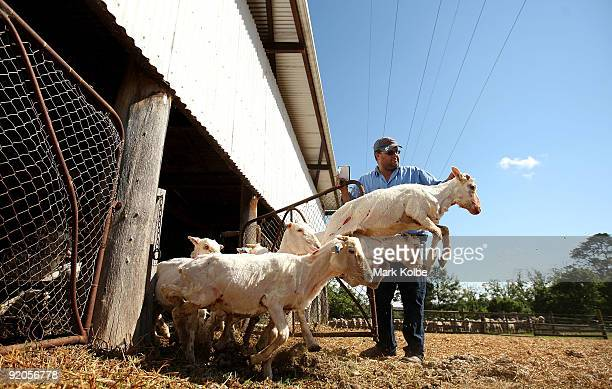 Andrew Page counts out the sheep after a run during spring shearing at Cherry Hill Pastoral Company property on October 19, 2009 in Uralla,...