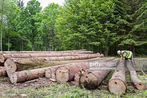 Andrzej Antczak, deputy superintendent of the Hajnowka Forest District cuts of bark of spruce to find woodworm and woodworm larvas in Bialowieza...