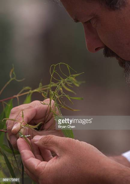 Andy Calderwood an agricultural biologist examines a Eucalyptus leaf for signs of the red gum lerp psyllid that have infected Eucalyptus trees in...