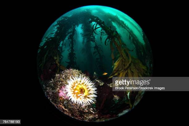 Anemone and kelp taken with a circular fisheye lens, Monterey, Central California.