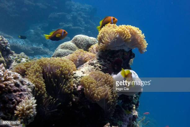 Anemone and orange clown fish