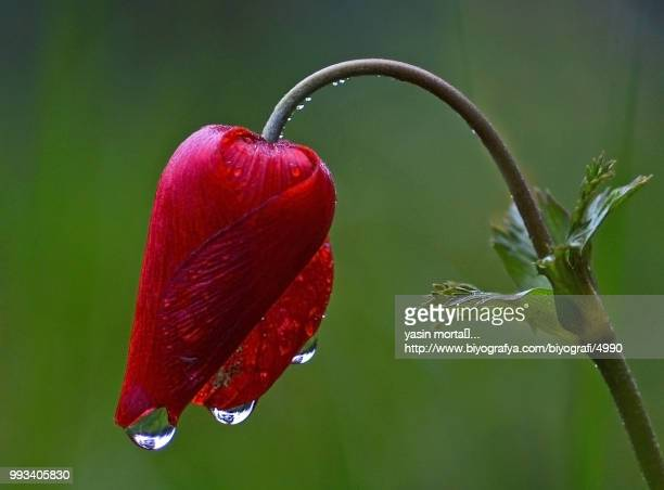 anemone and rain - www images com stock photos and pictures