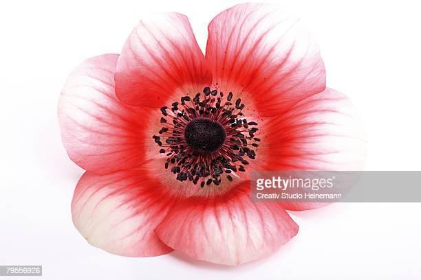 'Anemone, Anemone coronaria'
