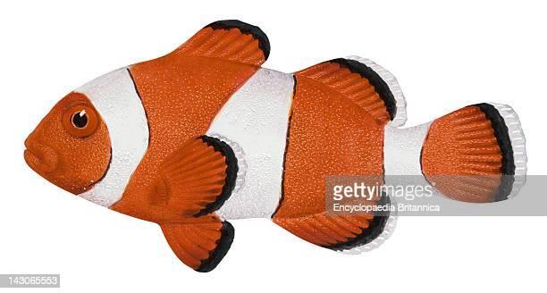 Anemone Fish Anemone Fish