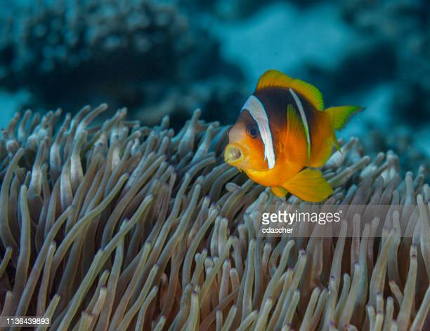 anemone fish - cdascher stock pictures, royalty-free photos & images
