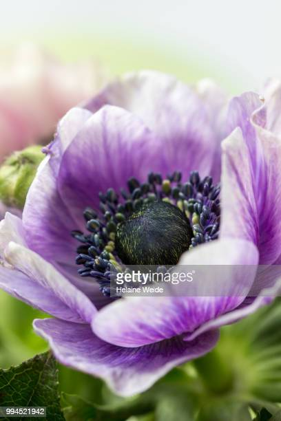 Anemone flower close up