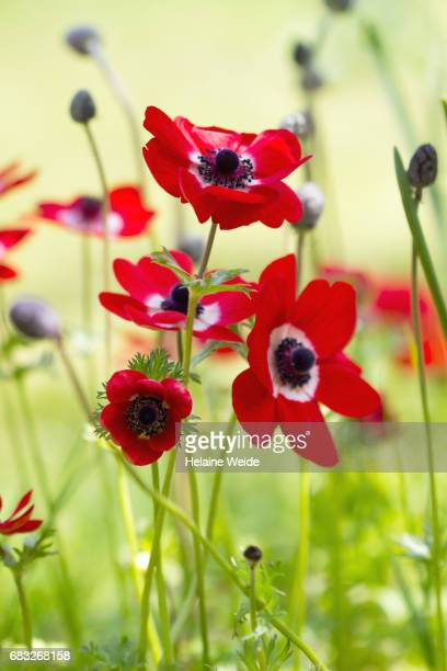 Anemone flowerbed
