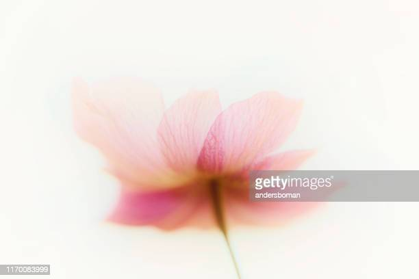 アネモンの花抽象芸術 - 果樹の花 ストックフォトと画像