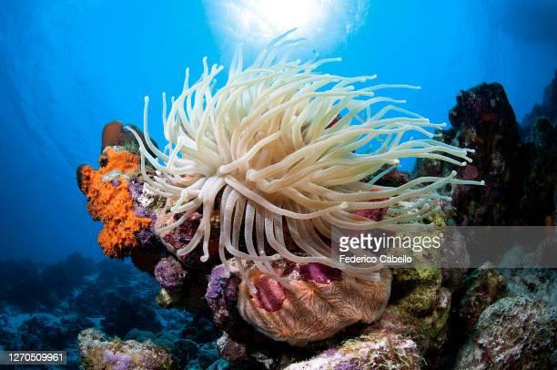 anemone klein bonaire - カリブ海オランダ領 ストックフォトと画像