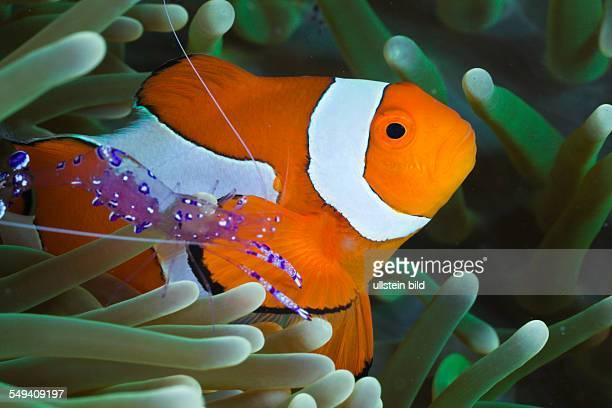 Anemone Shrimp and Clown Anemonefish Periclimenes tosaensis Amphiprion ocellaris Raja Ampat West Papua Indonesia