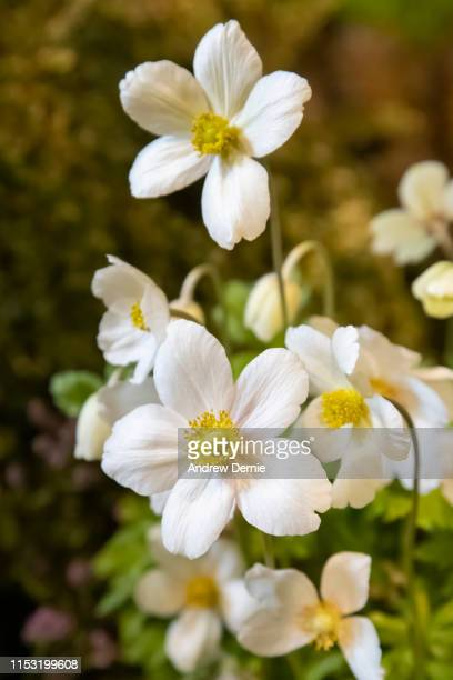 anemone sylvestris snow drop wood anemone - andrew dernie stock pictures, royalty-free photos & images