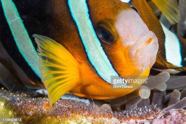 anemonefish and eggs - orange fin clownfish stock photos and pictures