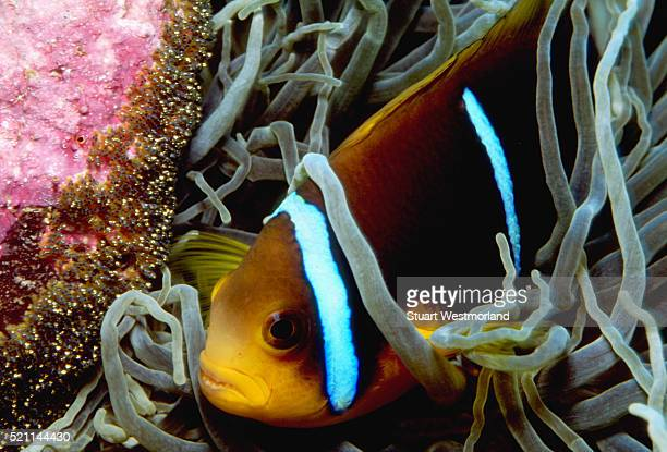 anemonefish guards eggs - orange fin clownfish stock photos and pictures