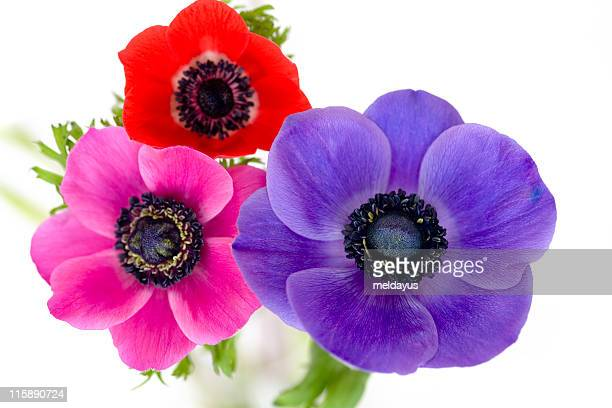 60 Top Anemone Flower Pictures, Photos, & Images - Getty Images