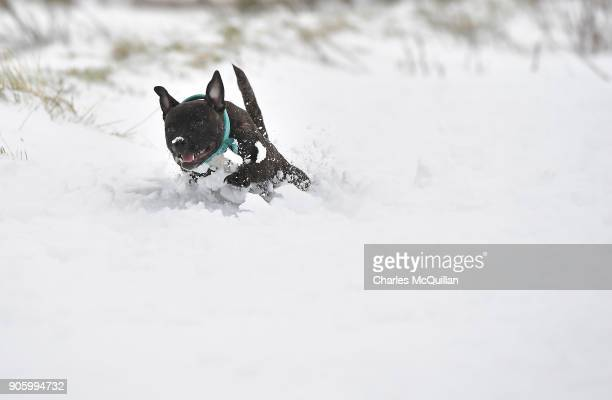 Angel a Bull Staffordshire plays in the snow on January 17 2018 in Belfast Northern Ireland The Met Office has placed an amber weather warning alert...