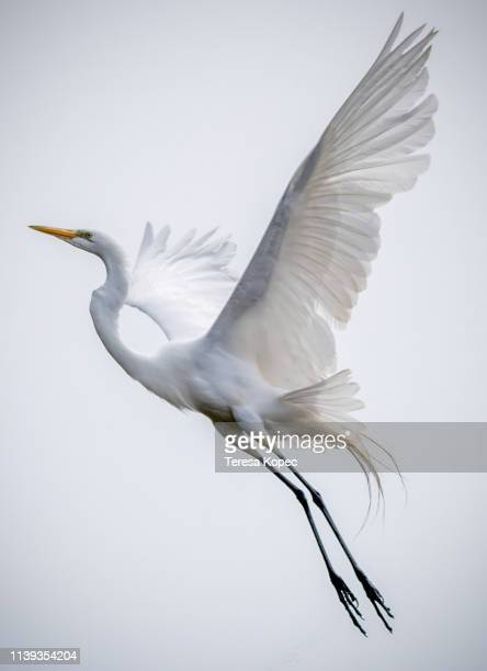 angel bird - water bird stock pictures, royalty-free photos & images
