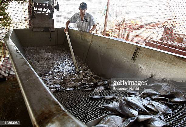 Angel Martinez pushes butterfish along a conveyor belt at the AP Bell Fish Co July 20 where the fishermen are feeling the effects of the Deepwater...