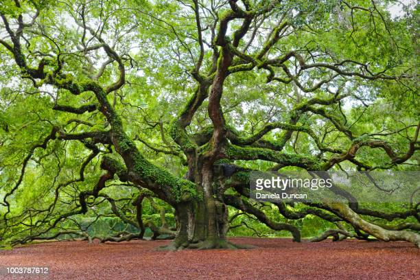 angel oak - golden - deciduous tree stock pictures, royalty-free photos & images