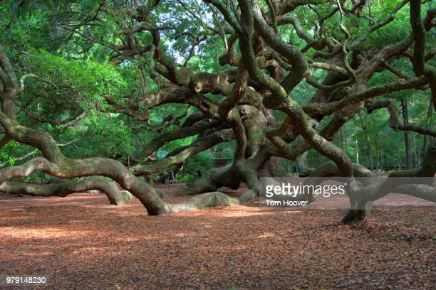 Angel Oak, Johns Island