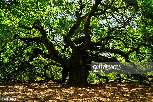 CONTENT] Angel Oak on John's Island near Charleston South Carolina USA At 1500 years old believed to be the oldest living tree east of the Rockies...
