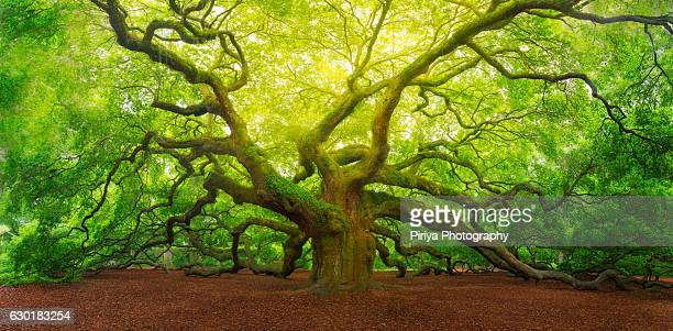 angel oak - template_talk:south_carolina stock pictures, royalty-free photos & images