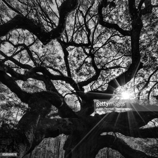 Angel Oak Sunstar