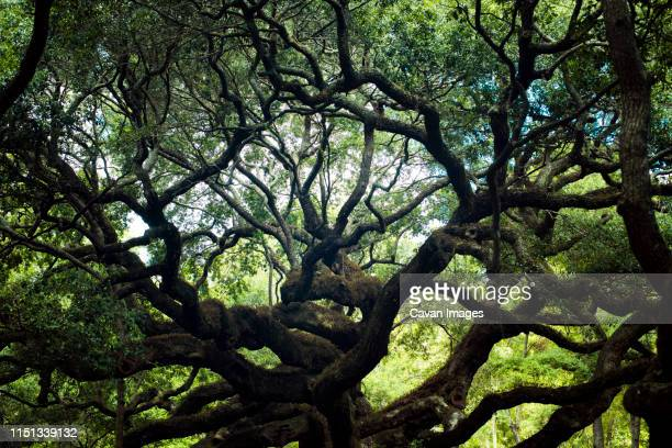 angel oak tree in charleston, south carolina - live oak tree stock pictures, royalty-free photos & images