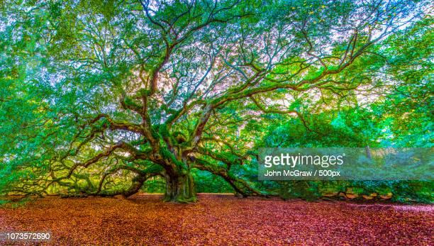 Angel Oak Tree Pano