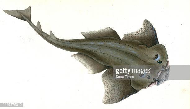Angel shark Squalus Squatina British fishes Donovan E 17681837