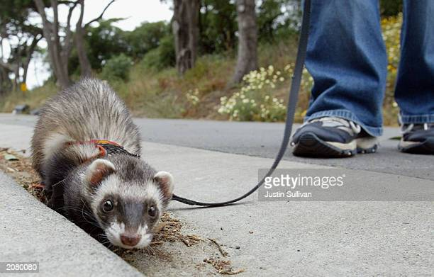 Angela Guglielmino walks a Ferret on a leash at the San Francisco Zoo June 13 2003 in San Francisco The recent epidemic of Monkeypox in the US which...