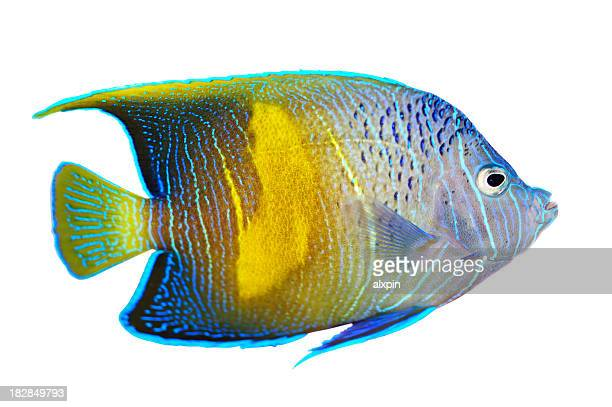 Angelfish against white background