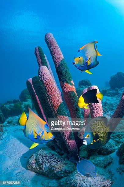 angelfish and sponge - coral stock pictures, royalty-free photos & images