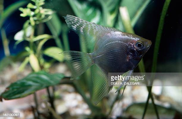 Angelfish Cichlidae in aquarium