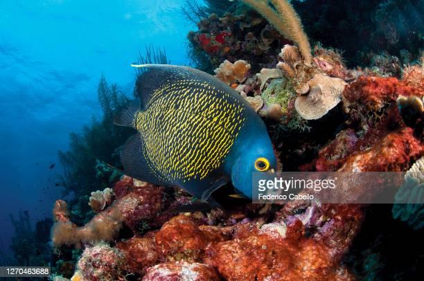 angelfish, klein bonaire - klein stock pictures, royalty-free photos & images