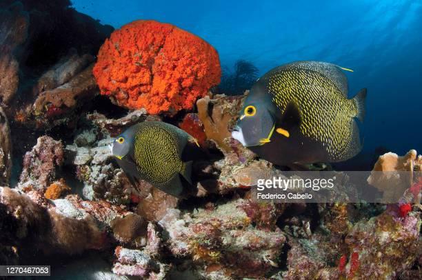 angelfish klein bonaire - klein stock pictures, royalty-free photos & images