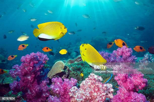Angelfish on coral reef