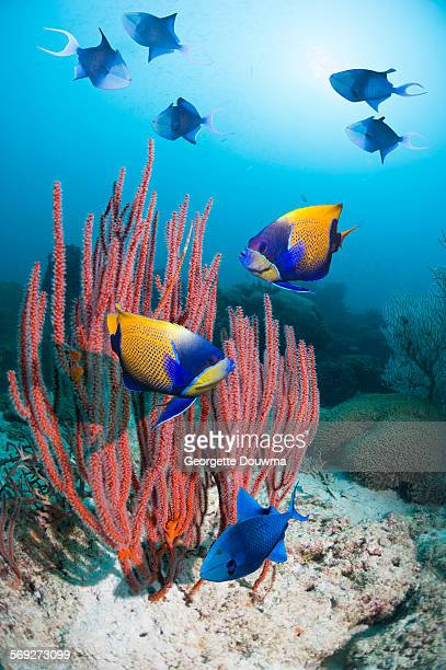 Angelfish over coral reef