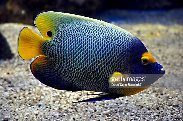 angelfish - poisson stock photos and pictures