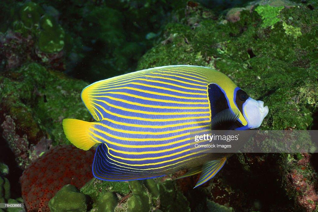 Angelfish : Stockfoto