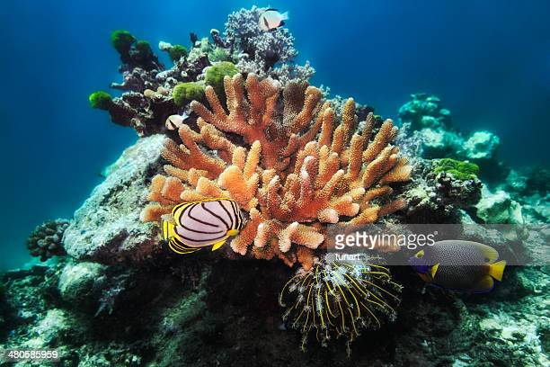 angelfishes and coral reef - invertebrate stock pictures, royalty-free photos & images