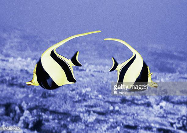 Angelfishes Swimming in Opposite Directions