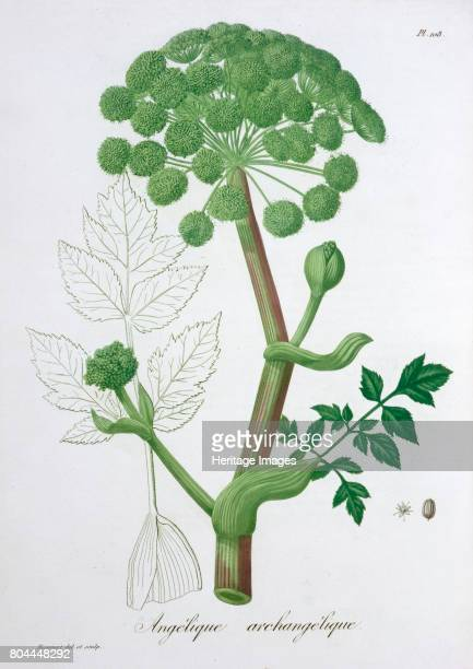 Angelica Archangelica 1821 From Phytographie Medicale by Joseph Roques 1821 Artist LFJ Hoquart