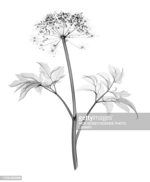 angelica stem, x-ray - flower stock pictures, royalty-free photos & images